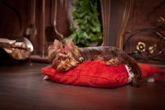 Cão do yorkshire terrier, ano novo, Natal Foto de Stock Royalty Free