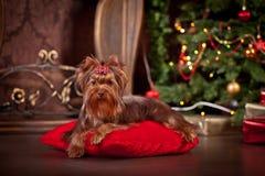 Cão do yorkshire terrier, ano novo, Natal Fotos de Stock Royalty Free