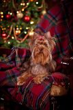 Cão do yorkshire terrier, ano novo, Natal Imagens de Stock Royalty Free