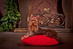 Cão do yorkshire terrier, ano novo, Natal Fotos de Stock