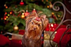 Cão do yorkshire terrier, ano novo, Natal Fotografia de Stock Royalty Free