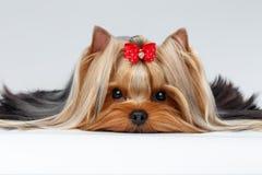 Cão do yorkshire terrier do retrato do close up que encontra-se no branco fotografia de stock