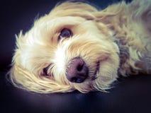 Cão doce Imagens de Stock Royalty Free