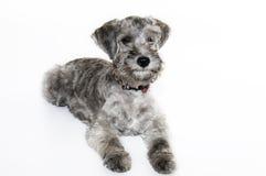 Cão doce pequeno Imagens de Stock