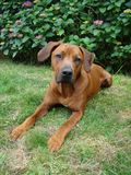 Cão doce que coloca na grama Fotos de Stock