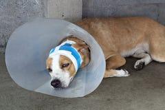 Cão doente com as ataduras que encontram-se e que vestem um colar do funil Foto de Stock