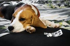 Cão doente com comprimidos fotos de stock