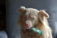 Cão doente do albino fotos de stock