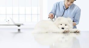 Cão doente do exame veterinário, veterinário com estetoscópio o foto de stock