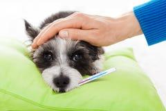 Cão doente doente Foto de Stock