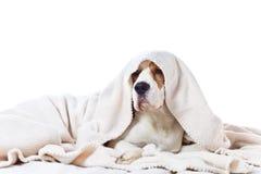 Cão doente triste sob uma cobertura Fotografia de Stock Royalty Free