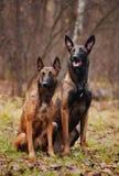 Cão dois bonito que senta-se na grama Fotografia de Stock Royalty Free