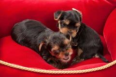Cão Dois cachorrinhos do yorkshire terrier no fundo branco Foto de Stock