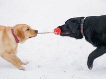 Cão dois Labrador que joga com o brinquedo vermelho na neve imagem de stock royalty free
