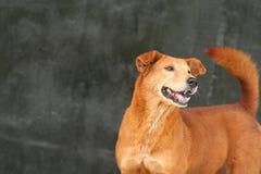 Cão doméstico Imagens de Stock Royalty Free