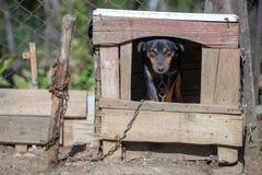 Cão doméstico em suportes da corrente na casota imagens de stock