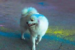 Cão doméstico macio coberto com a pintura de Holi imagens de stock royalty free