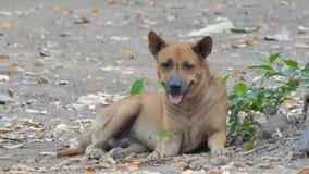 Cão doméstico marrom tailandês que descansa na terra video estoque
