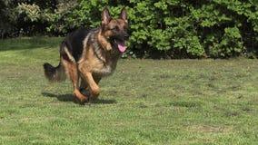 Cão doméstico, pastor alemão Dog, corredor fêmea na grama video estoque
