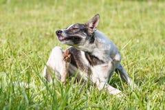 Cão doméstico tailandês que risca sua cara na grama verde Imagem de Stock