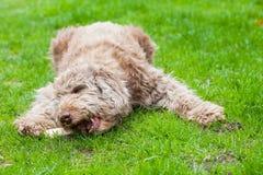 Cão domesticado que come um osso saboroso para fora na grama foto de stock