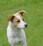 Cão dos jovens de Фdorable Foto de Stock