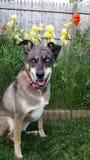 Cão dos olhos azuis Fotos de Stock Royalty Free
