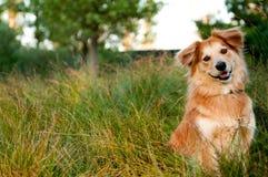 Cão dourado Fotos de Stock