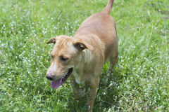 Cão dourado Imagem de Stock