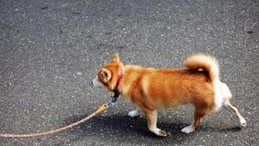 Cão dourado em japão foto de stock