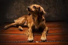 Cão dourado na luz dourada O cão leal é melhor amigo Sujo como um cão Comportamento do cupão de alimentação O preto gosta do foci imagem de stock royalty free