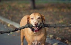 Cão dourado velho Foto de Stock Royalty Free