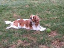 Cão e bola Fotografia de Stock Royalty Free
