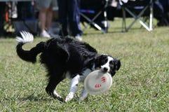 Cão e disco Foto de Stock