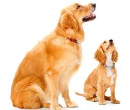 Cão e filhote de cachorro Imagem de Stock