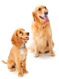 Cão e filhote de cachorro Imagem de Stock Royalty Free