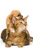 Cão e filhote de cachorro no estúdio Imagens de Stock Royalty Free