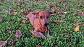 Cão e folhas Foto de Stock Royalty Free