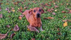 Cão e folhas Imagens de Stock Royalty Free