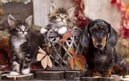 Cão e gatinhos do bassê Imagem de Stock Royalty Free