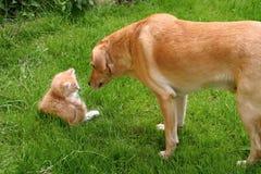 Cão e gato curiosos Fotos de Stock Royalty Free
