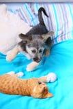 Cão e gato dos animais em casa que joga junto na cama Imagem de Stock