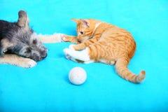 Cão e gato dos animais que joga em casa Imagem de Stock Royalty Free