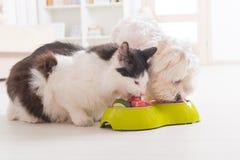 Cão e gato que come o alimento natural de uma bacia fotografia de stock