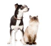 Cão e gato que olham acima focalizado no gato Isolado nos vagabundos brancos Fotografia de Stock Royalty Free