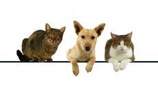 Cão e gatos sobre uma bandeira em branco Imagem de Stock Royalty Free