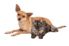 Cão e Gray Cat da chihuahua fotos de stock