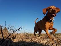Cão e lua Imagens de Stock Royalty Free