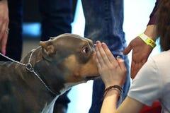 Cão e mãos reconfortantes Imagem de Stock