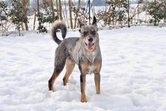 Cão e neve Imagens de Stock Royalty Free